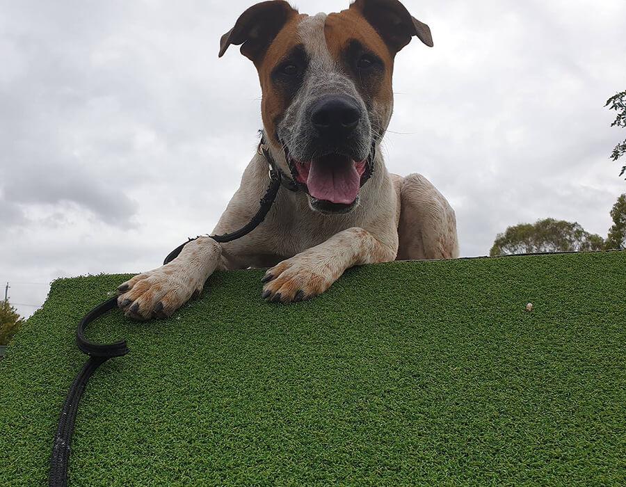 Above & Beyond Dog Training & Rehabilitation Professional and Clean Dog Kennels Brisbane Gold Coast